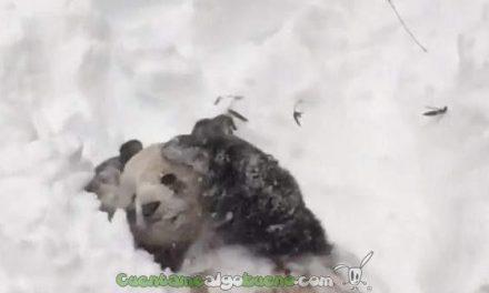 Tian Tian y la nieve