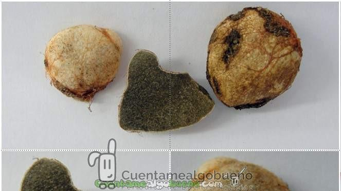 Rhizopogon verii se extiende también por América del Sur