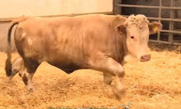 Un toro salta de alegría al ser liberado de una granja intensiva