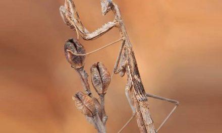 Encuentran en Ciudad Real una mantis única en el mundo