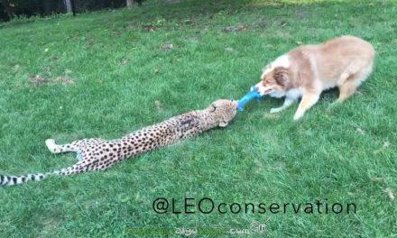 Un guepardo y un perro amigos para siempre