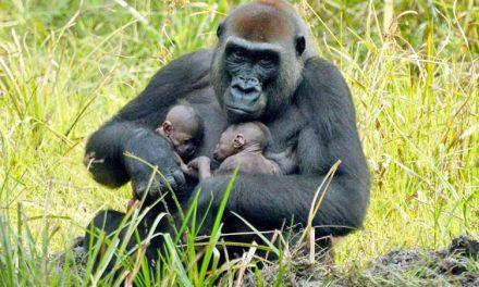 Primeros gemelos gorilas en reserva natural