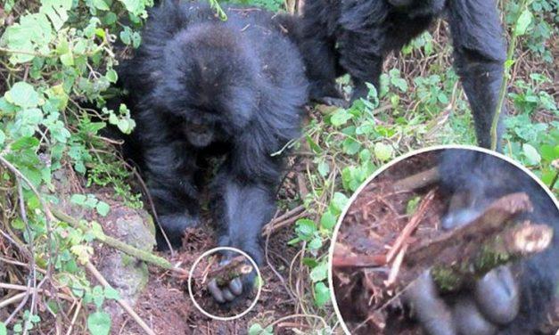 Gorilas aprenden a desarmar trampas de cazadores furtivos en Ruanda