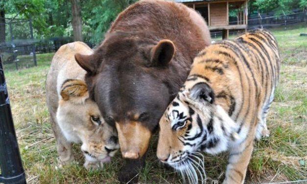 Un león, un tigre y un oso amigos inseparables