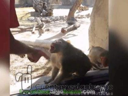 La gran sorpresa de un babuino ante un truco de magia
