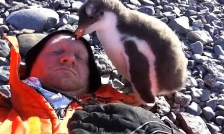 Cría de pingüino se encuentra con una persona por primera vez