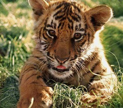 Aumenta la población mundial de tigres salvajes