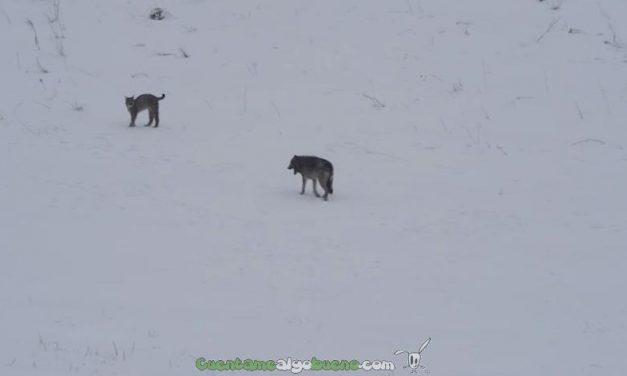 Lobo y lince boreal se encuentran en un bosque de Polonia