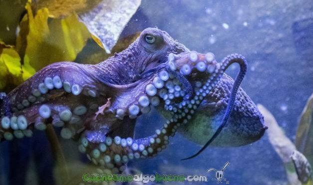 El pulpo que se escapó de un acuario de Nueva Zelanda