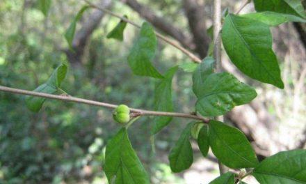 La Karina, nuevo género de planta