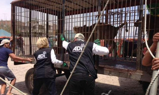 Un nuevo comienzo para treinta y tres leones rescatados