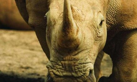 Desciende el número de rinocerontes abatidos