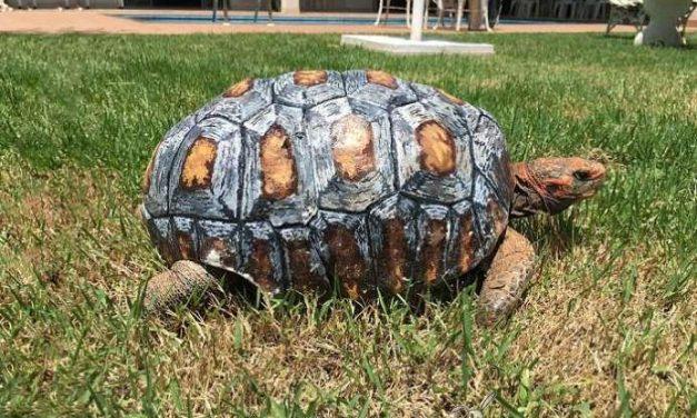 Salvan la vida a una tortuga con un caparazón impreso en 3D