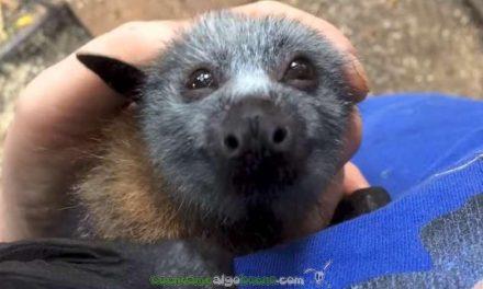Enternecedor vídeo de veterinaria acariciando a un murciélago huérfano