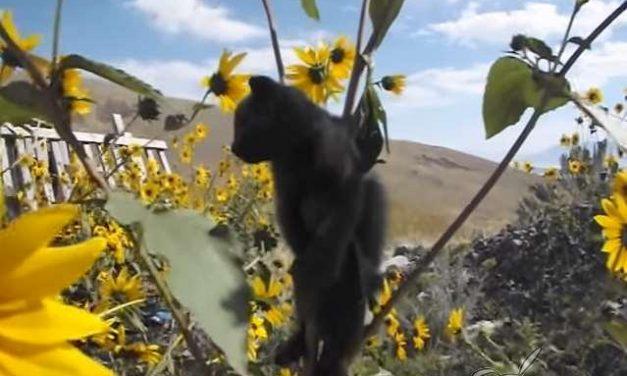 Libera a un gatito que estaba atrapado en un girasol