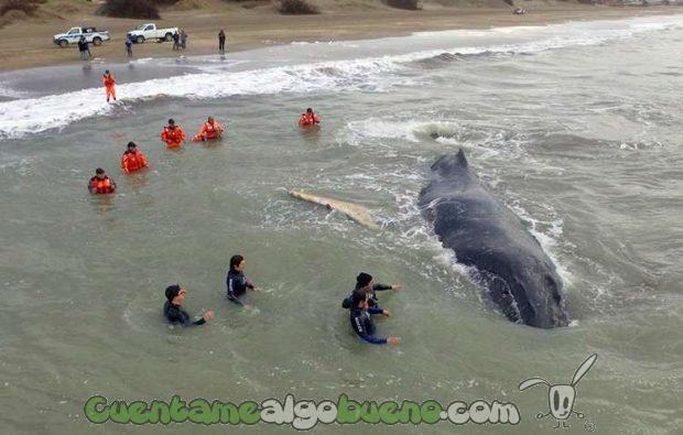 20160719-2-rescatan-ballena-argentina-1