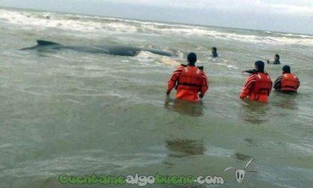 Liberan a una ballena jorobada encallada en una playa Argentina