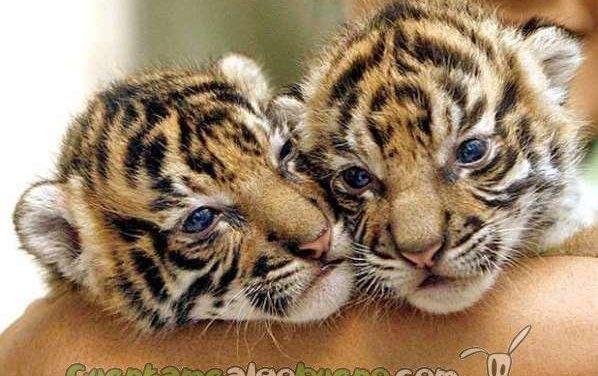 Nepal espera duplicar su población de tigres antes de 2022
