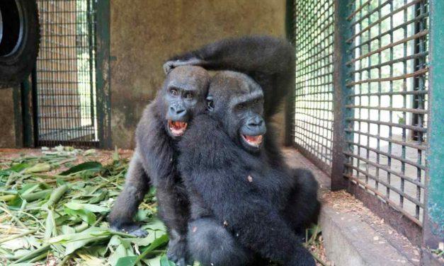 Parry y Chris, dos gorilas inseparables
