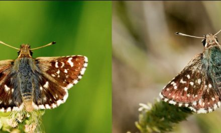 Spialia Rosae, la nueva especie de mariposa de la Península Ibérica