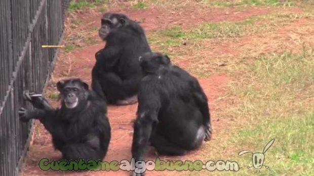 """En el estudio demuestran que dos chimpancés colaboran juntos y evitan al """"gorrón"""" que no quiere trabajar."""
