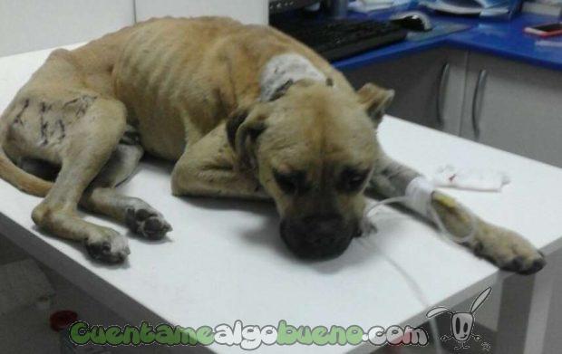 20160826-2-rescatan-perro-peleas-ilegales-puertollano-1