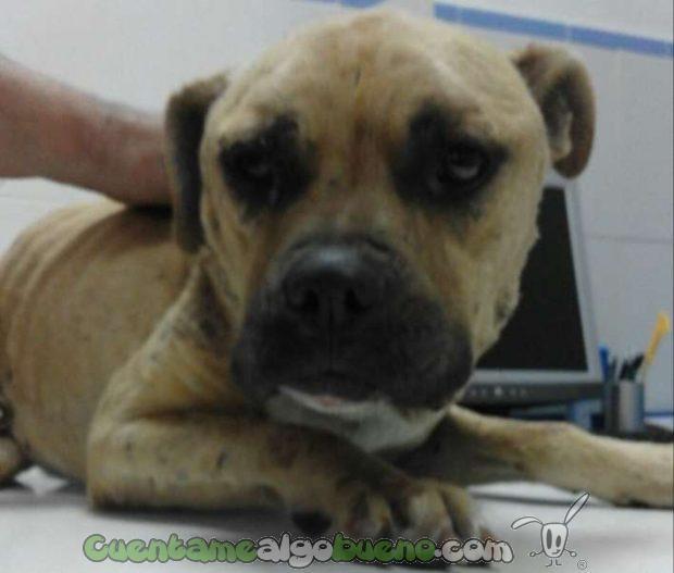 20160826-2-rescatan-perro-peleas-ilegales-puertollano-2