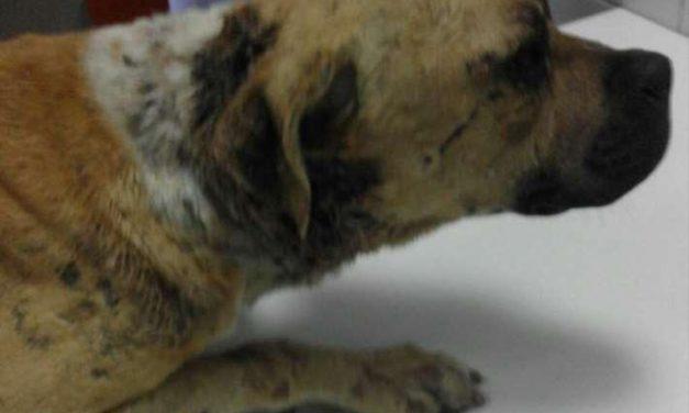 Rescatan a un perro usado en peleas ilegales en Puertollano