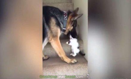 Pastor alemán ayuda a un gatito a subir las escaleras