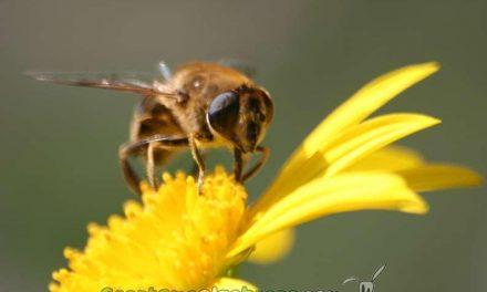 Declaran a las abejas como la especie más importante del planeta