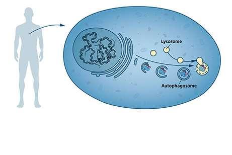 Nuestras células tienen diferentes compartimentos especializados, como los lisosomas. Estos contienen enzimas para la digestión de los contenidos celulares. Un nuevo tipo de vesícula –llamada autofagosoma– se observó dentro de la célula. Los autofagosomas envuelven los contenidos celulares, como proteínas y orgánulos dañados. Finalmente, se fusionan con el lisosoma, donde el contenido se degrada en componentes más pequeños. Este proceso proporciona nutrientes a la célula y permite su renovación. / Nobel Prize.