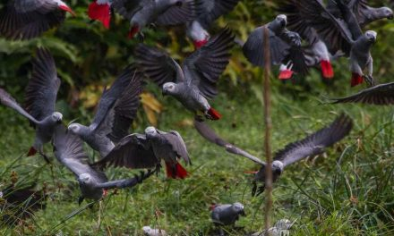 Prohíben el comercio de loros grises africanos salvajes