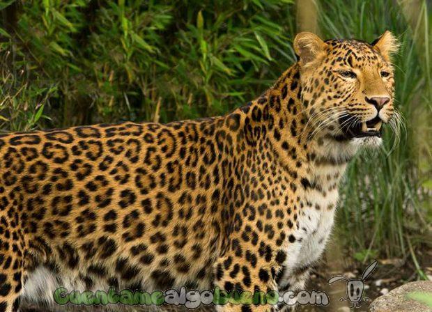 20161007-leopardos-india