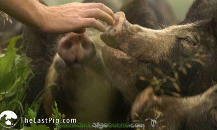 El granjero que cerró su granja por amor a sus cerdos