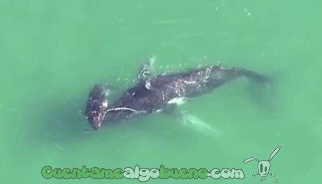 Cría de ballena salva a su madre