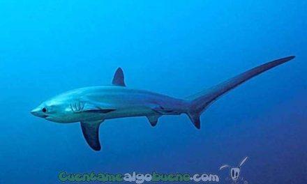 Dos nuevas especies de tiburón declaradas protegidas
