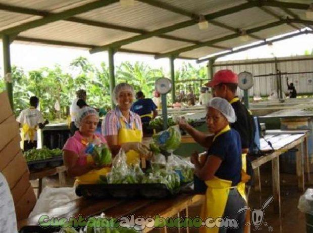 20161015-banelino-cultivo-platano-biodiversidad-republica-dominicana-02