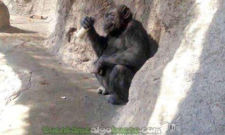 Liberan a una chimpancé de zoológico argentino al considerarla un sujeto de derecho no humano