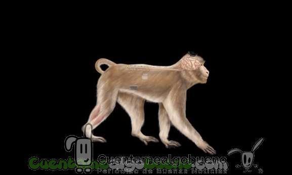 Dos monos vuelven a caminar con una interfaz inalámbrica