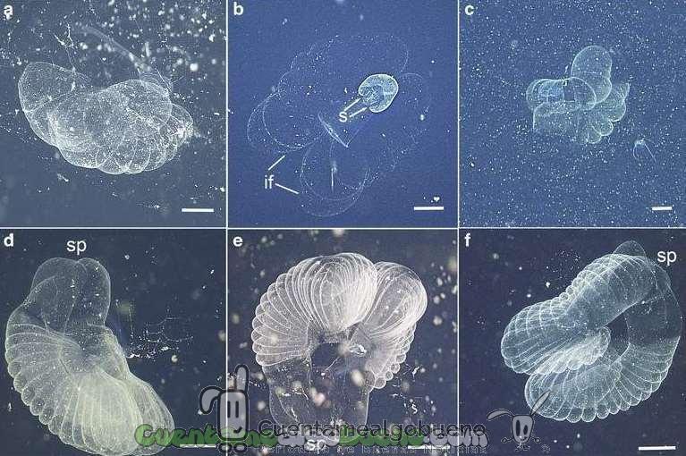 Localizan animal larváceo desaparecido desde hace siglos