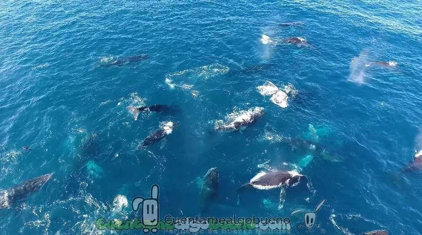 Graban con un Dron a 60 ballenas jorobadas nadando