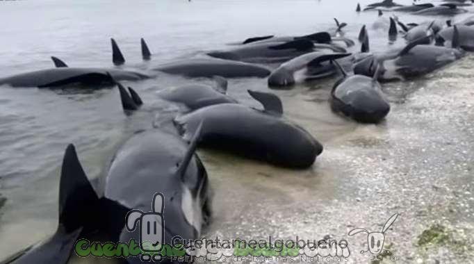 Liberan a cientos de ballenas varadas en Nueva Zelanda