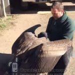 Pichón de Cóndor en Argentina abraza al cuidador que lo curó de una lesión