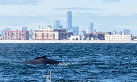 Ballenas jorobadas regresan a Nueva York por primera vez en un siglo