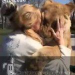 Emotivo reencuentro de una mujer con los leones que adoptó