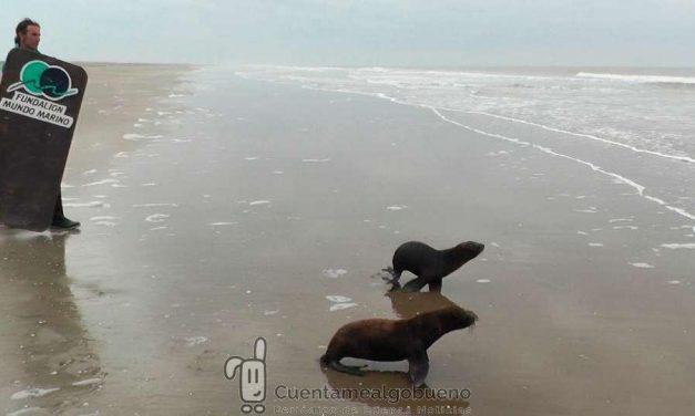 Devuelven al mar a dos lobos marinos rescatados