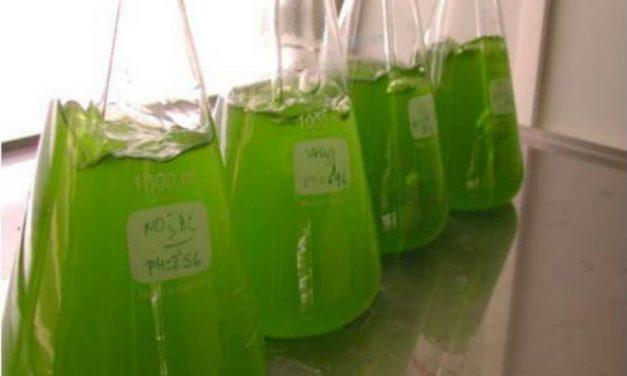 Obtienen biogás a partir de algas