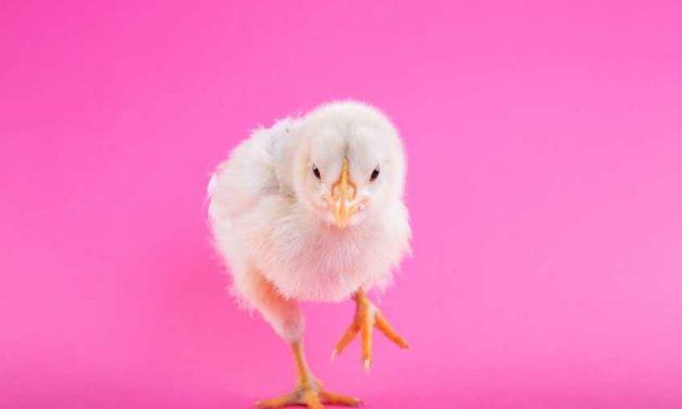 La cadena ALDI dejará de vender huevos de gallinas enjauladas en España