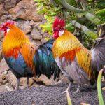 Canarias prohibirá las peleas de gallos y los circos con animales