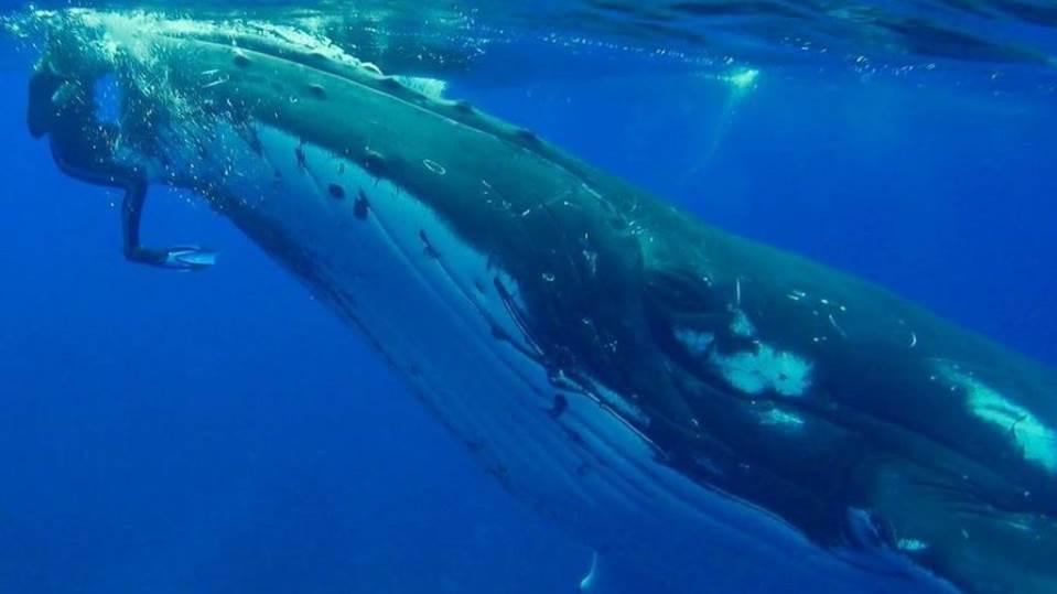 Ballena salva a bióloga del ataque de un tiburón
